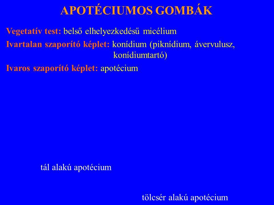 APOTÉCIUMOS GOMBÁK Vegetatív test: belső elhelyezkedésű micélium Ivartalan szaporító képlet: konídium (piknídium, ávervulusz, konídiumtartó) Ivaros szaporító képlet: apotécium tál alakú apotécium tölcsér alakú apotécium