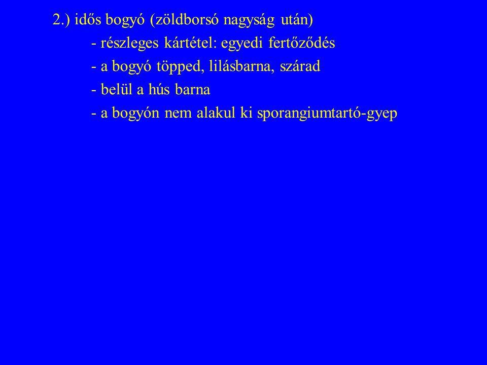2.) idős bogyó (zöldborsó nagyság után) - részleges kártétel: egyedi fertőződés - a bogyó töpped, lilásbarna, szárad - belül a hús barna - a bogyón nem alakul ki sporangiumtartó-gyep