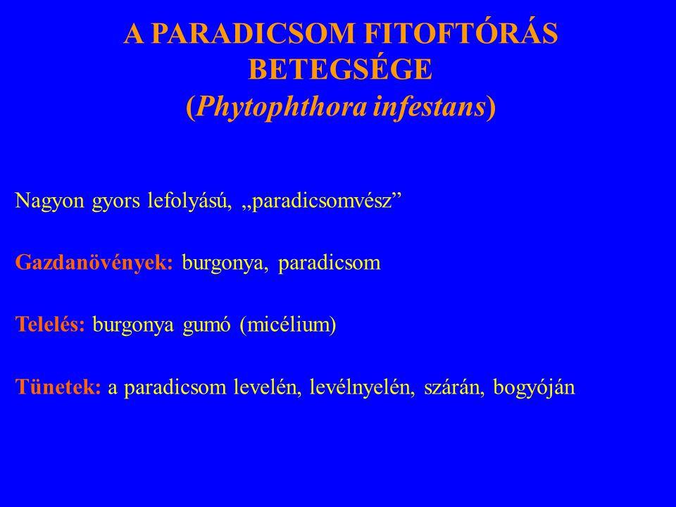 """Nagyon gyors lefolyású, """"paradicsomvész Gazdanövények: burgonya, paradicsom Telelés: burgonya gumó (micélium) Tünetek: a paradicsom levelén, levélnyelén, szárán, bogyóján A PARADICSOM FITOFTÓRÁS BETEGSÉGE (Phytophthora infestans)"""