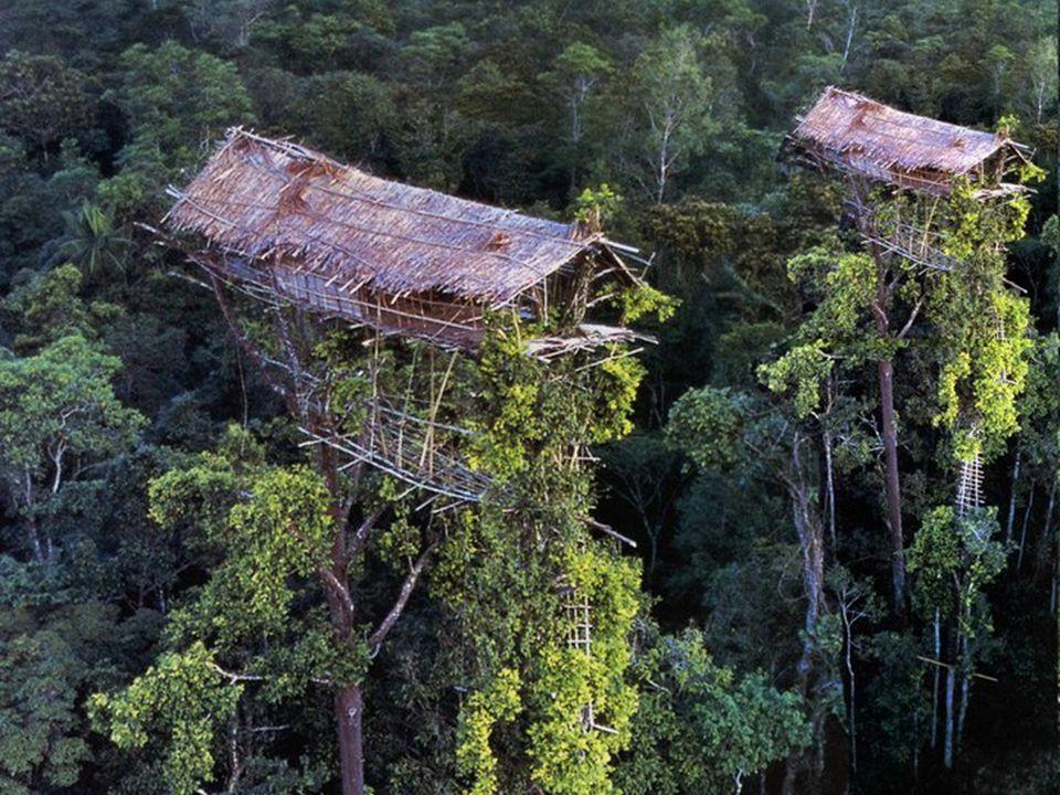 A fák koronáján él, és vadászó-gyűjtögető életmódot folytat Pápua-Új Guinea Indonéziához tartozó részén egy törzs, amely a jelenleg is zajló népszámlá