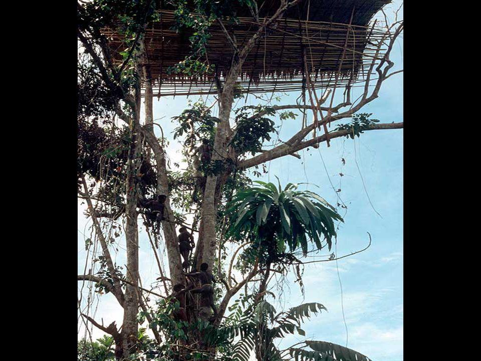 A faházaikat a fák csúcsaira építik, gyakran harminc méteres magasságba. Így védik magukat a szúnyogoktól, a vadállatoktól és az ellenséges törzsek tá