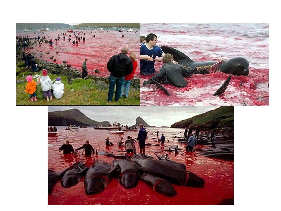 Titokban gyilkoló szigetlakók Évente több mint 200 calderon delfint, vagy más néven pilótabálnát mészárolnak le a Dániához tartozó Feröer-szigeteken (
