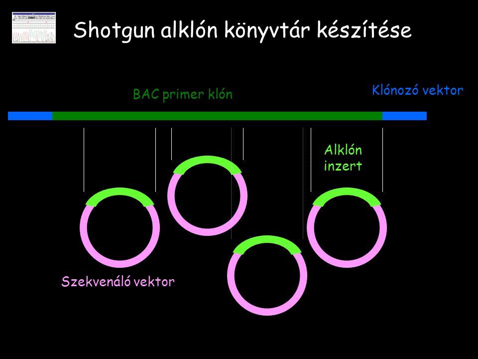 Shotgun alklón könyvtár készítése BAC primer klón Klónozó vektor Szekvenáló vektor Alklón inzert