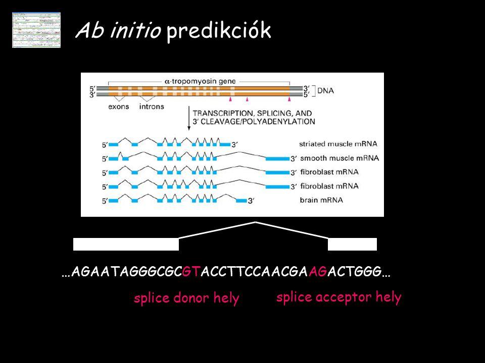 Ab initio predikciók …AGAATAGGGCGCGTACCTTCCAACGAAGACTGGG… splice donor hely splice acceptor hely