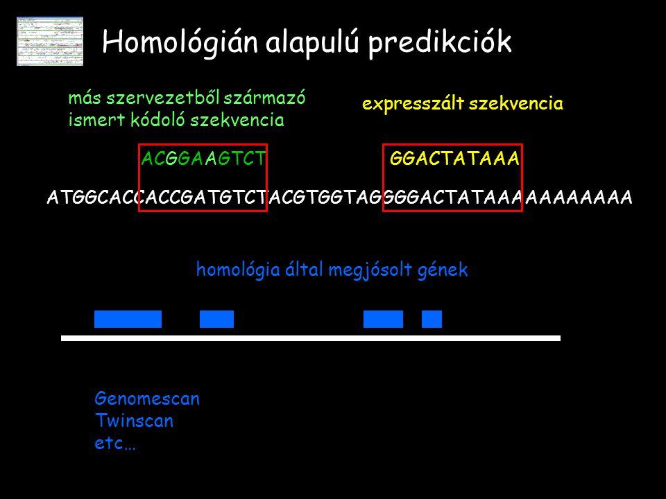 Homológián alapulú predikciók ATGGCACCACCGATGTCTACGTGGTAGGGGACTATAAAAAAAAAAA ACGGAAGTCT más szervezetből származó ismert kódoló szekvencia GGACTATAAA