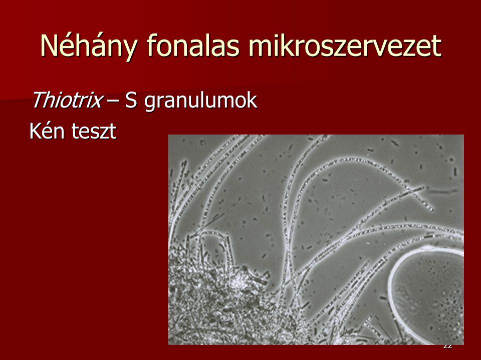 22 Néhány fonalas mikroszervezet Thiotrix – S granulumok Kén teszt