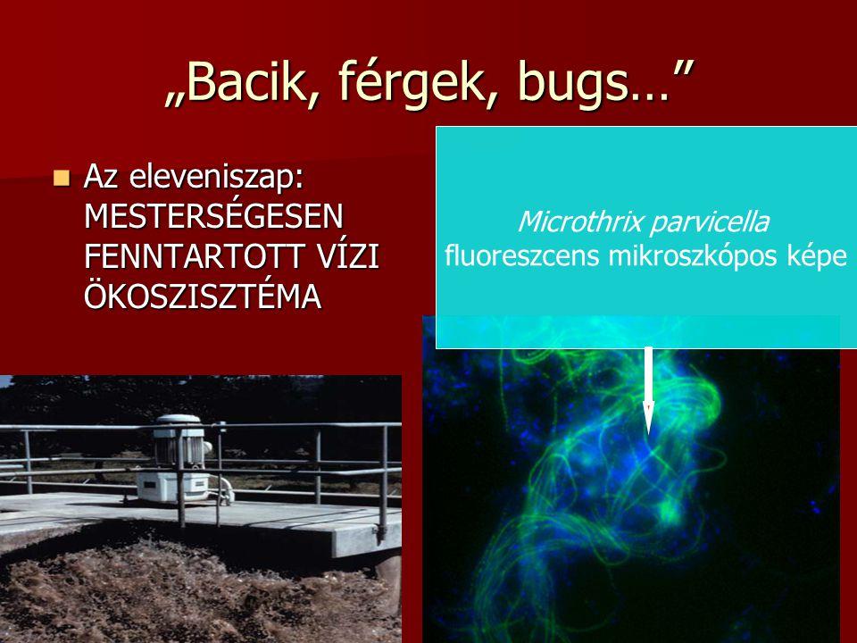 """12 """"Bacik, férgek, bugs… Az eleveniszap: MESTERSÉGESEN FENNTARTOTT VÍZI ÖKOSZISZTÉMA Az eleveniszap: MESTERSÉGESEN FENNTARTOTT VÍZI ÖKOSZISZTÉMA Microthrix parvicella fluoreszcens mikroszkópos képe"""
