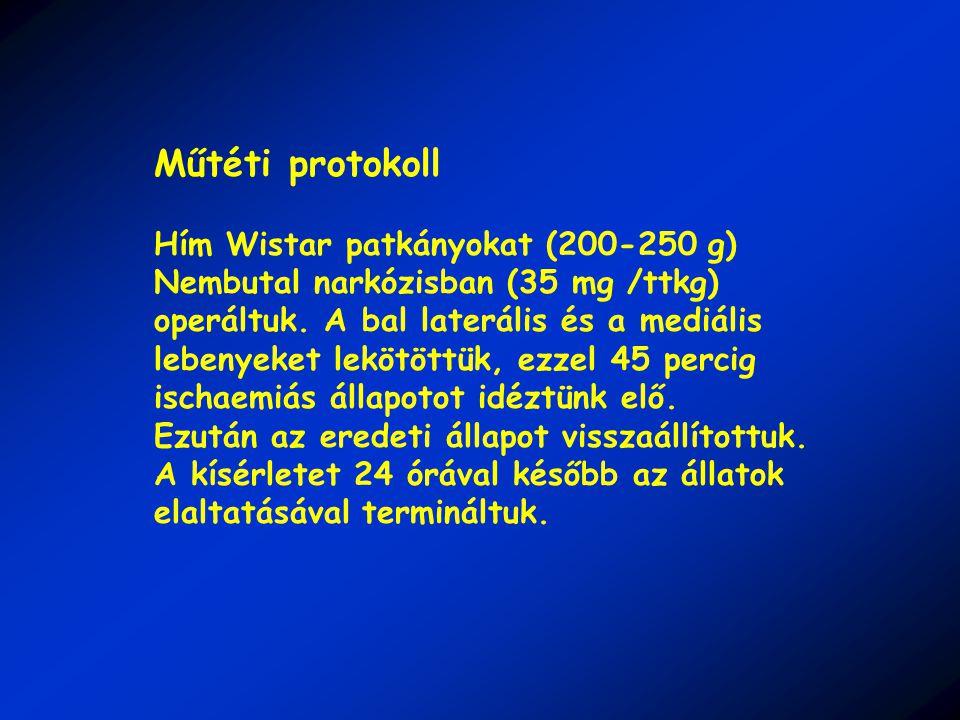 Műtéti protokoll Hím Wistar patkányokat (200-250 g) Nembutal narkózisban (35 mg /ttkg) operáltuk.