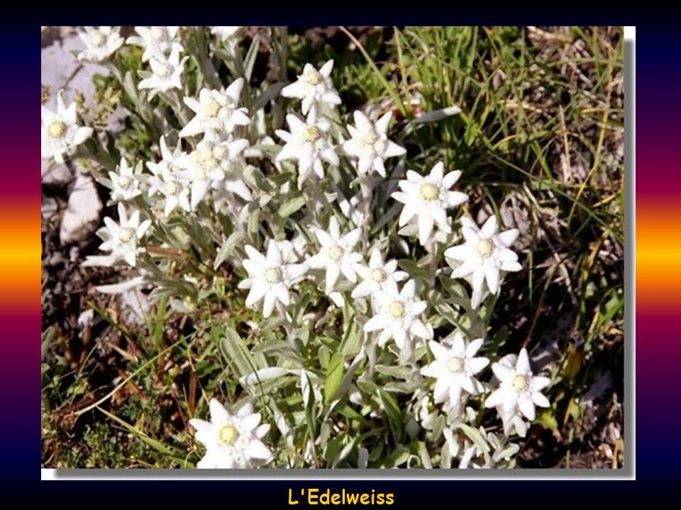 L Edelweiss