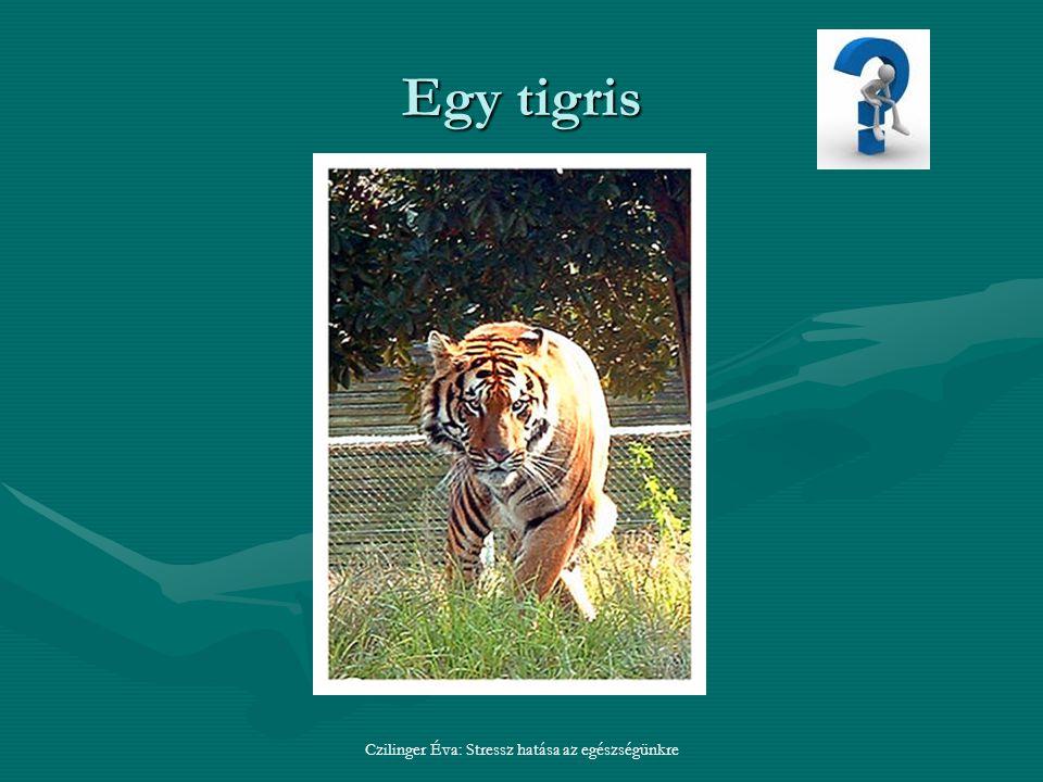 Egy tigris Czilinger Éva: Stressz hatása az egészségünkre