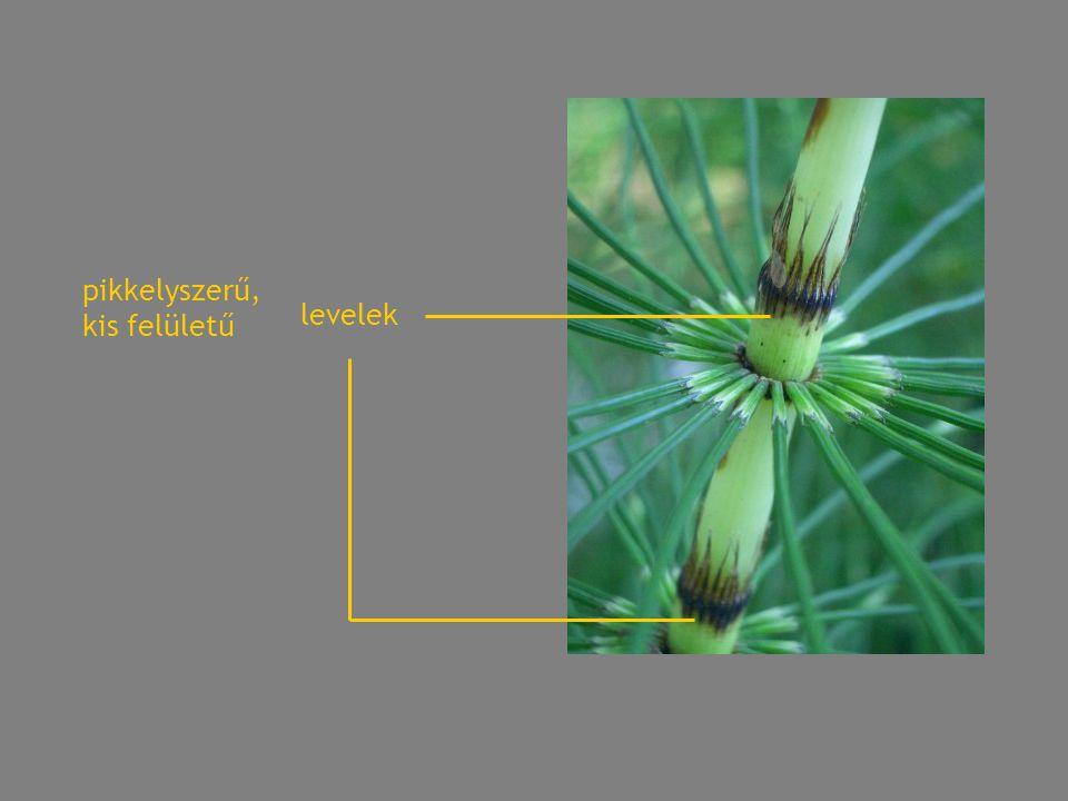 pikkelyszerű, kis felületű levelek