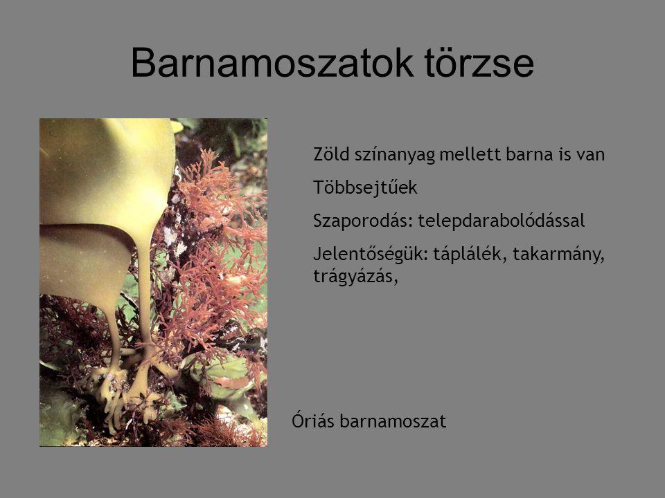 Barnamoszatok törzse Zöld színanyag mellett barna is van Többsejtűek Szaporodás: telepdarabolódással Jelentőségük: táplálék, takarmány, trágyázás, Óri