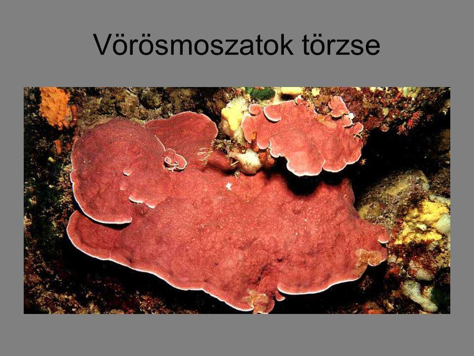 Vörösmoszatok törzse