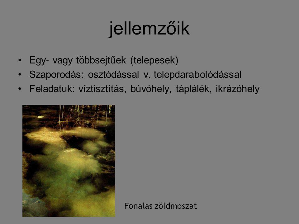 jellemzőik Egy- vagy többsejtűek (telepesek) Szaporodás: osztódással v. telepdarabolódással Feladatuk: víztisztítás, búvóhely, táplálék, ikrázóhely Fo