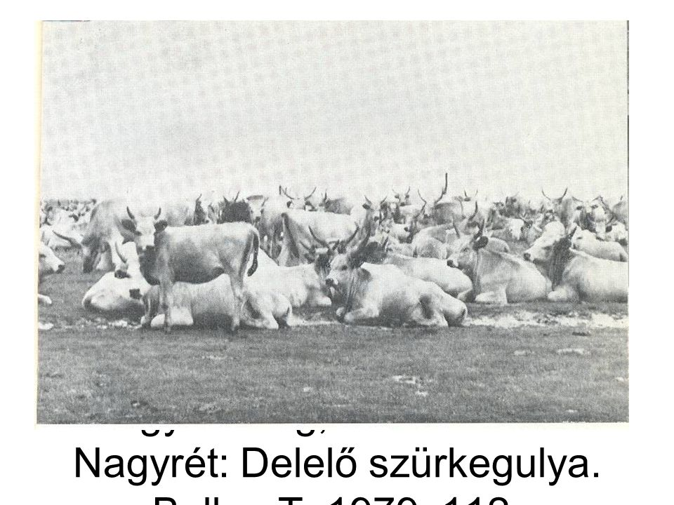 Nagykunság, Kunmadaras- Nagyrét: Delelő szürkegulya. Bellon T. 1979: 112.