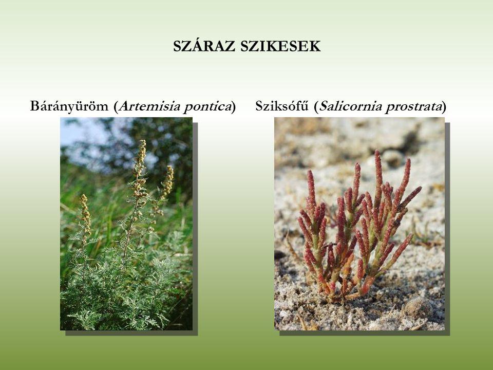 SZÁRAZ SZIKESEK Bárányüröm (Artemisia pontica)Sziksófű (Salicornia prostrata)