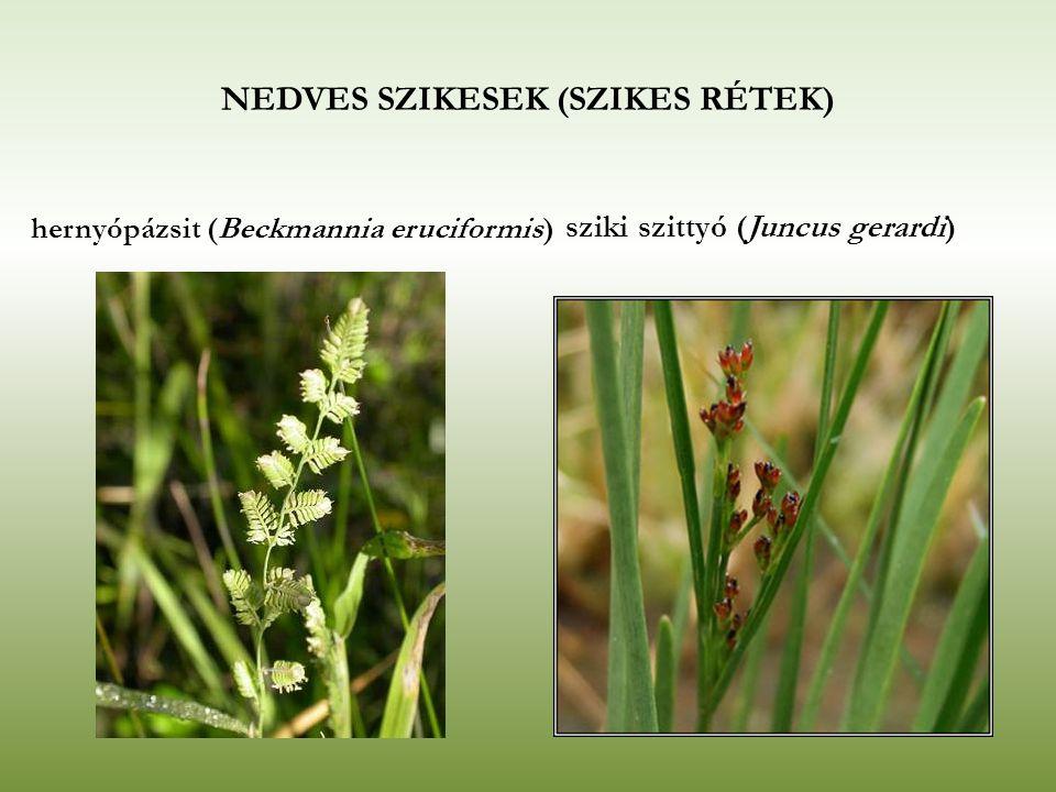 NEDVES SZIKESEK (SZIKES RÉTEK) hernyópázsit (Beckmannia eruciformis) sziki szittyó (Juncus gerardi)