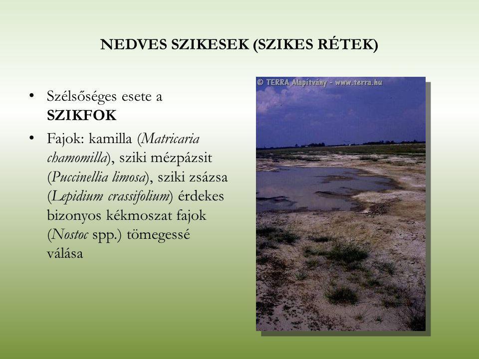 NEDVES SZIKESEK (SZIKES RÉTEK) Szélsőséges esete a SZIKFOK Fajok: kamilla (Matricaria chamomilla), sziki mézpázsit (Puccinellia limosa), sziki zsázsa