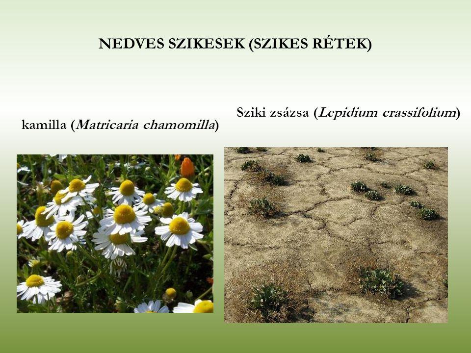 kamilla (Matricaria chamomilla) Sziki zsázsa (Lepidium crassifolium) NEDVES SZIKESEK (SZIKES RÉTEK)
