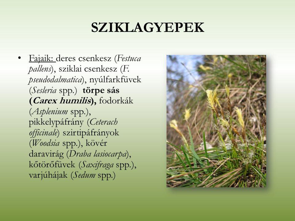 SZIKLAGYEPEK Fajaik: deres csenkesz (Festuca pallens), sziklai csenkesz (F. pseudodalmatica), nyúlfarkfüvek (Sesleria spp.) törpe sás (Carex humilis),