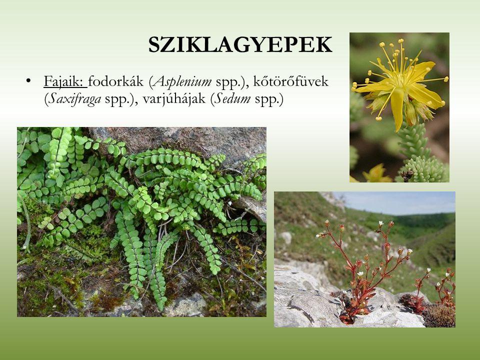 SZIKLAGYEPEK Fajaik: fodorkák (Asplenium spp.), kőtörőfüvek (Saxifraga spp.), varjúhájak (Sedum spp.)
