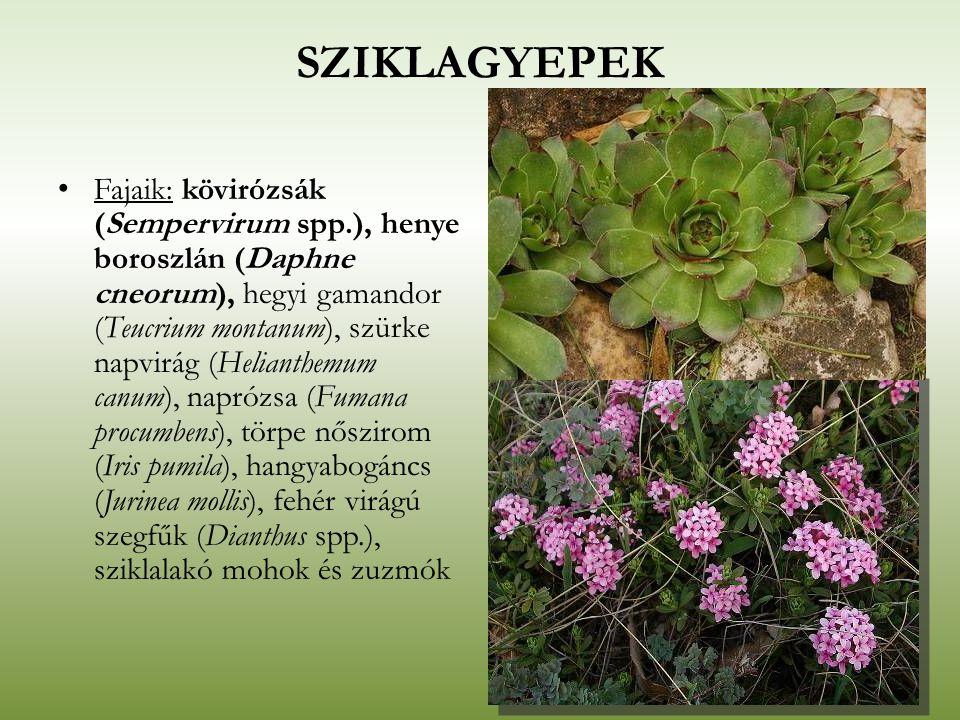 SZIKLAGYEPEK Fajaik: kövirózsák (Sempervirum spp.), henye boroszlán (Daphne cneorum), hegyi gamandor (Teucrium montanum), szürke napvirág (Helianthemu