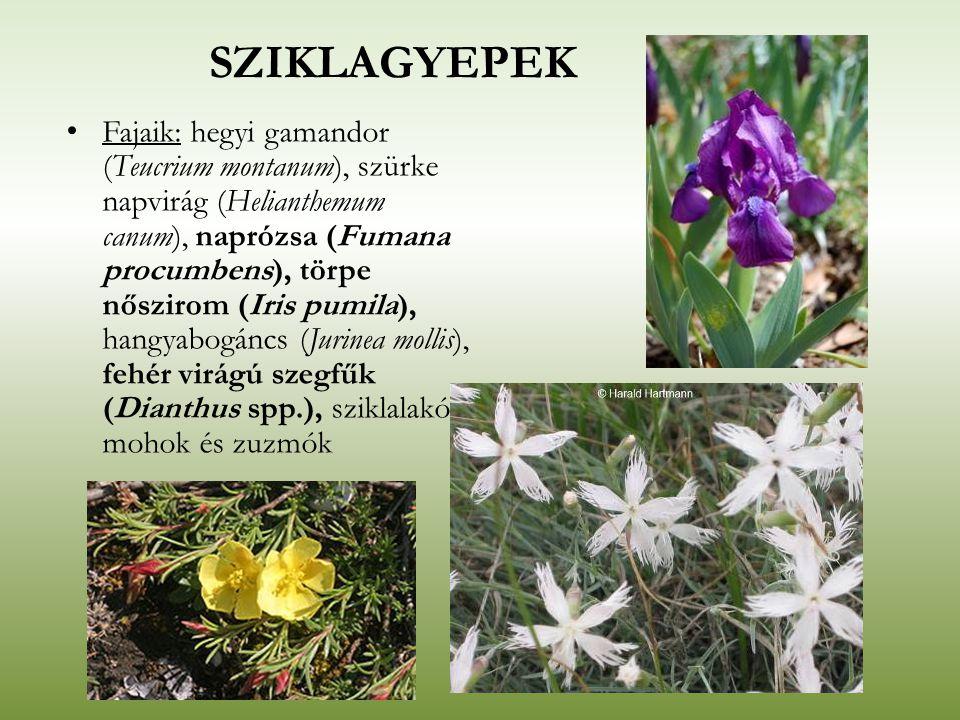 SZIKLAGYEPEK Fajaik: hegyi gamandor (Teucrium montanum), szürke napvirág (Helianthemum canum), naprózsa (Fumana procumbens), törpe nőszirom (Iris pumi