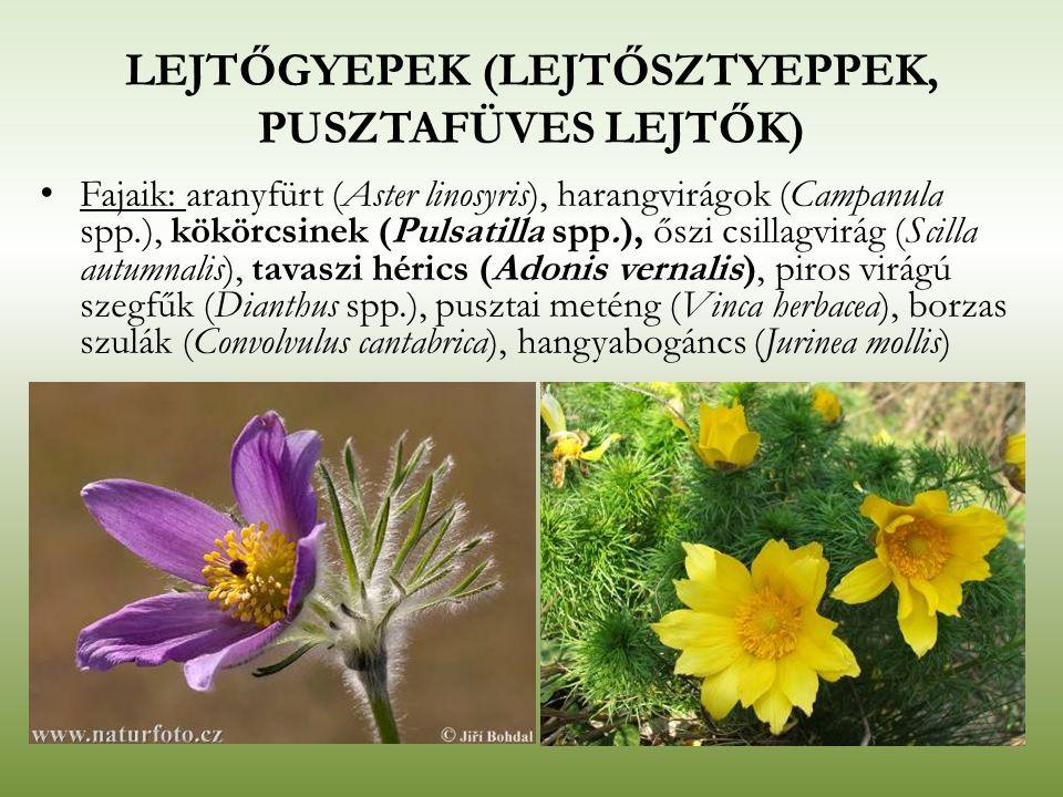 LEJTŐGYEPEK (LEJTŐSZTYEPPEK, PUSZTAFÜVES LEJTŐK) Fajaik: aranyfürt (Aster linosyris), harangvirágok (Campanula spp.), kökörcsinek (Pulsatilla spp.), ő