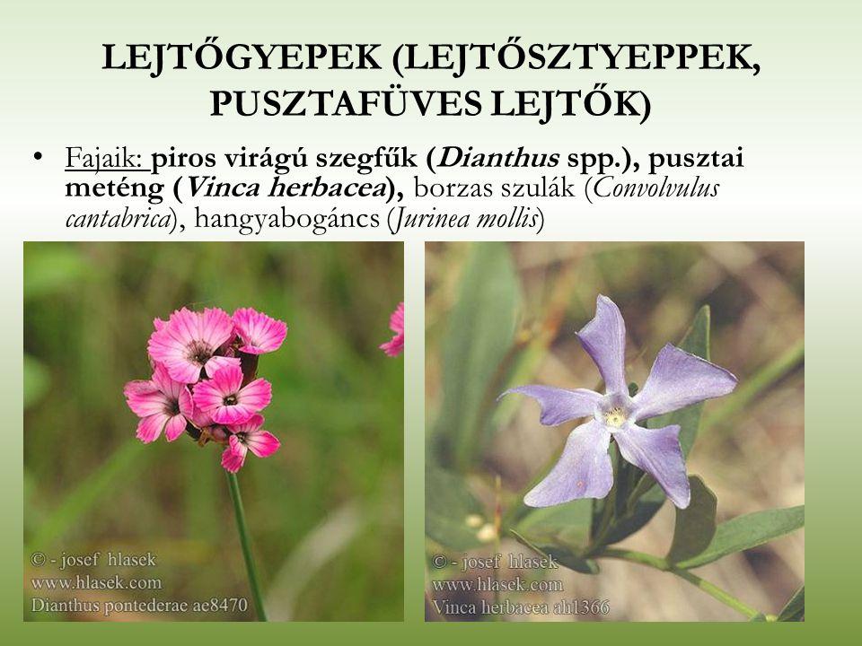 LEJTŐGYEPEK (LEJTŐSZTYEPPEK, PUSZTAFÜVES LEJTŐK) Fajaik: piros virágú szegfűk (Dianthus spp.), pusztai meténg (Vinca herbacea), borzas szulák (Convolv