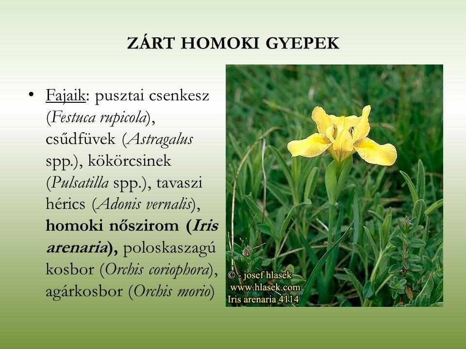 ZÁRT HOMOKI GYEPEK Fajaik: pusztai csenkesz (Festuca rupicola), csűdfüvek (Astragalus spp.), kökörcsinek (Pulsatilla spp.), tavaszi hérics (Adonis ver
