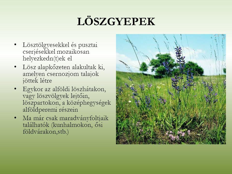 LÖSZGYEPEK Lösztölgyesekkel és pusztai cserjésekkel mozaikosan helyezkedn(t)ek el Lösz alapkőzeten alakultak ki, amelyen csernozjom talajok jöttek lét