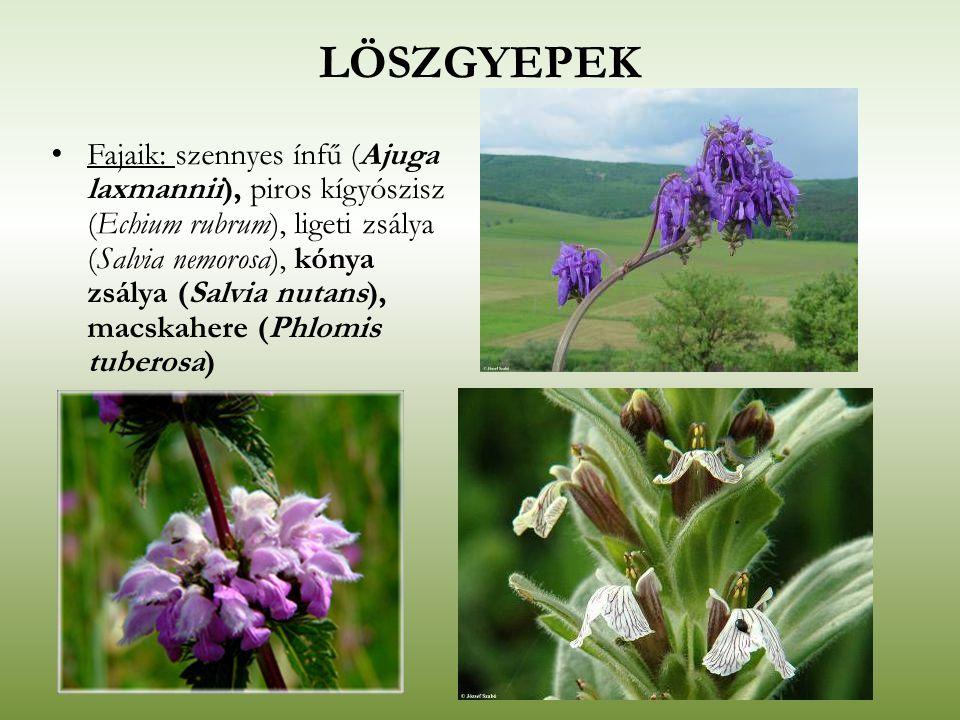 LÖSZGYEPEK Fajaik: szennyes ínfű (Ajuga laxmannii), piros kígyószisz (Echium rubrum), ligeti zsálya (Salvia nemorosa), kónya zsálya (Salvia nutans), m