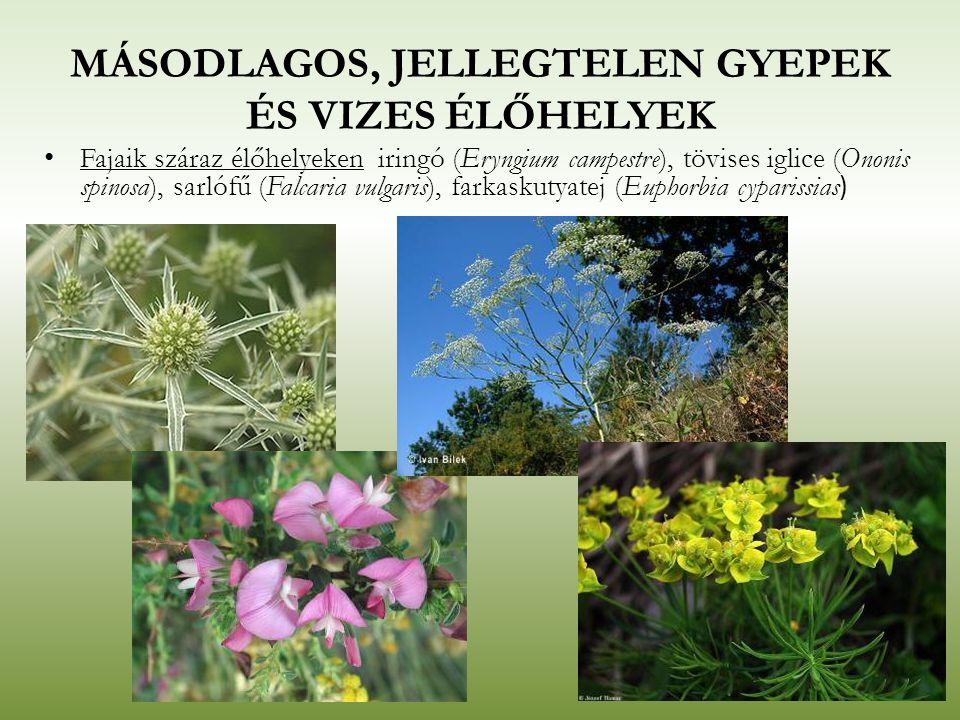MÁSODLAGOS, JELLEGTELEN GYEPEK ÉS VIZES ÉLŐHELYEK Fajaik száraz élőhelyeken iringó (Eryngium campestre), tövises iglice (Ononis spinosa), sarlófű (Fal