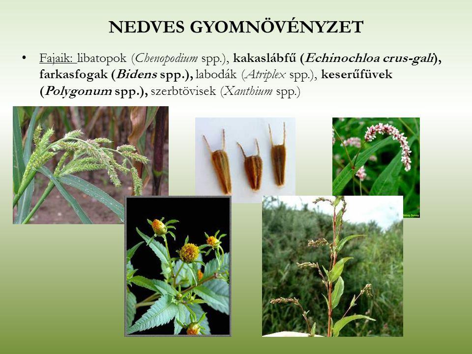 NEDVES GYOMNÖVÉNYZET Fajaik: libatopok (Chenopodium spp.), kakaslábfű (Echinochloa crus-gali), farkasfogak (Bidens spp.), labodák (Atriplex spp.), kes
