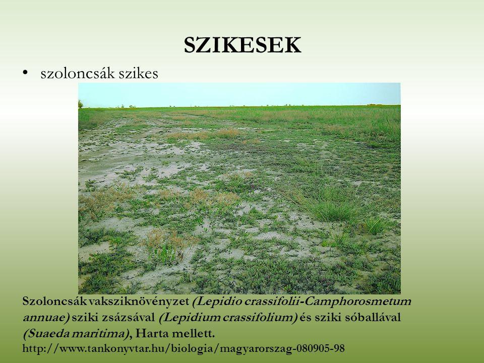 SZIKESEK szoloncsák szikes Szoloncsák vaksziknövényzet (Lepidio crassifolii-Camphorosmetum annuae) sziki zsázsával (Lepidium crassifolium) és sziki só