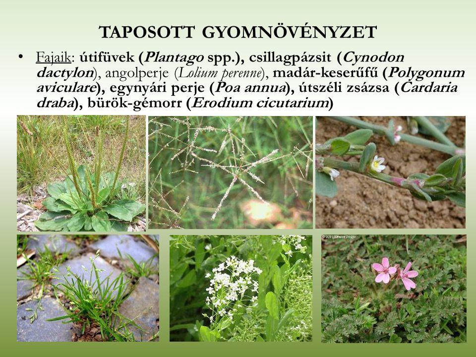 Fajaik: útifüvek (Plantago spp.), csillagpázsit (Cynodon dactylon), angolperje (Lolium perenne), madár-keserűfű (Polygonum aviculare), egynyári perje