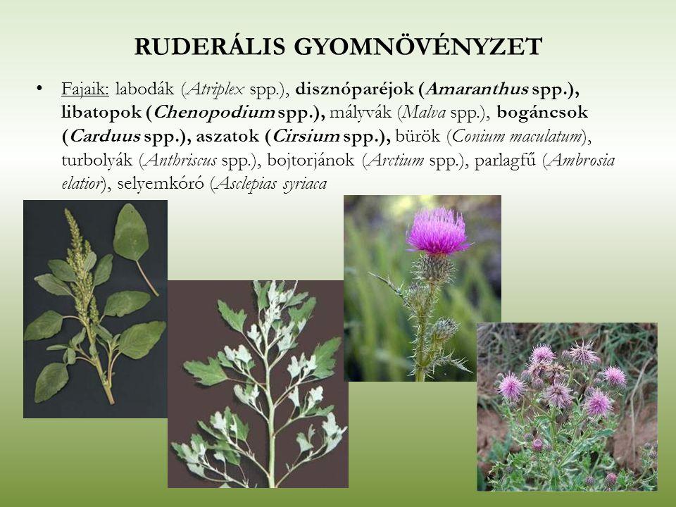RUDERÁLIS GYOMNÖVÉNYZET Fajaik: labodák (Atriplex spp.), disznóparéjok (Amaranthus spp.), libatopok (Chenopodium spp.), mályvák (Malva spp.), bogáncso