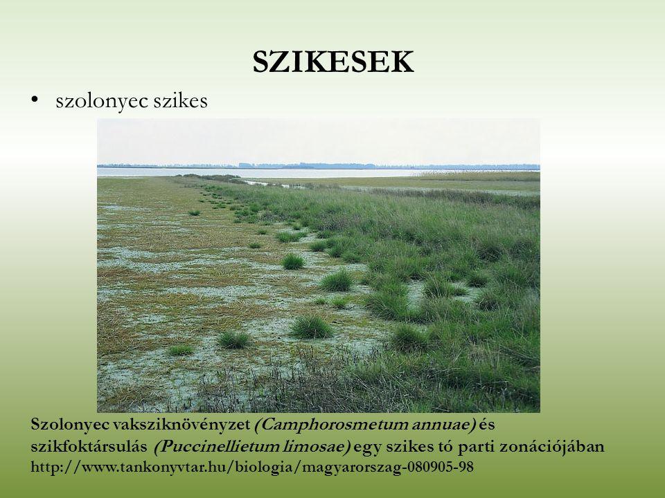 SZIKESEK szolonyec szikes Szolonyec vaksziknövényzet (Camphorosmetum annuae) és szikfoktársulás (Puccinellietum limosae) egy szikes tó parti zonációjá