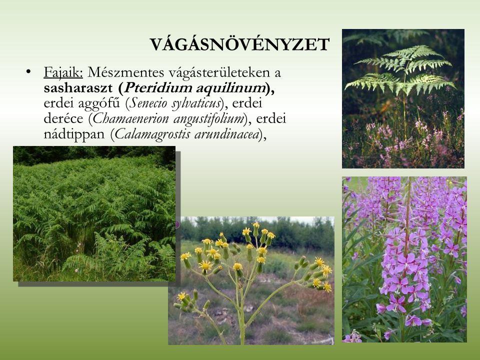 VÁGÁSNÖVÉNYZET Fajaik: Mészmentes vágásterületeken a sasharaszt (Pteridium aquilinum), erdei aggófű (Senecio sylvaticus), erdei deréce (Chamaenerion a