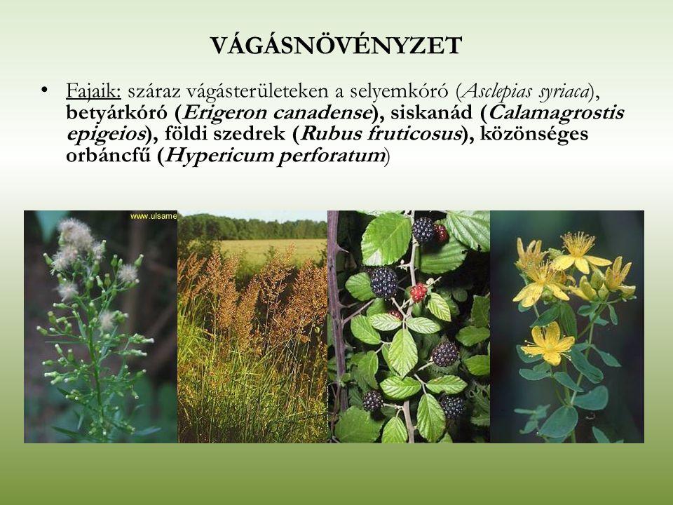 VÁGÁSNÖVÉNYZET Fajaik: száraz vágásterületeken a selyemkóró (Asclepias syriaca), betyárkóró (Erigeron canadense), siskanád (Calamagrostis epigeios), f