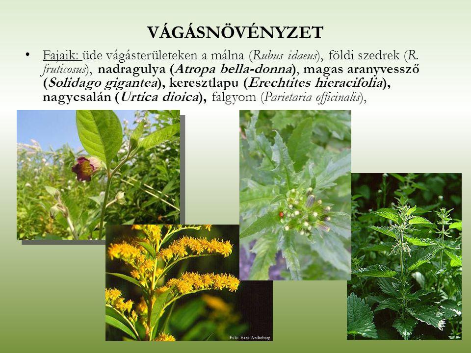 VÁGÁSNÖVÉNYZET Fajaik: üde vágásterületeken a málna (Rubus idaeus), földi szedrek (R. fruticosus), nadragulya (Atropa bella-donna), magas aranyvessző