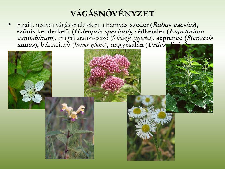 VÁGÁSNÖVÉNYZET Fajaik: nedves vágásterületeken a hamvas szeder (Rubus caesius), szőrös kenderkefű (Galeopsis speciosa), sédkender (Eupatorium cannabin