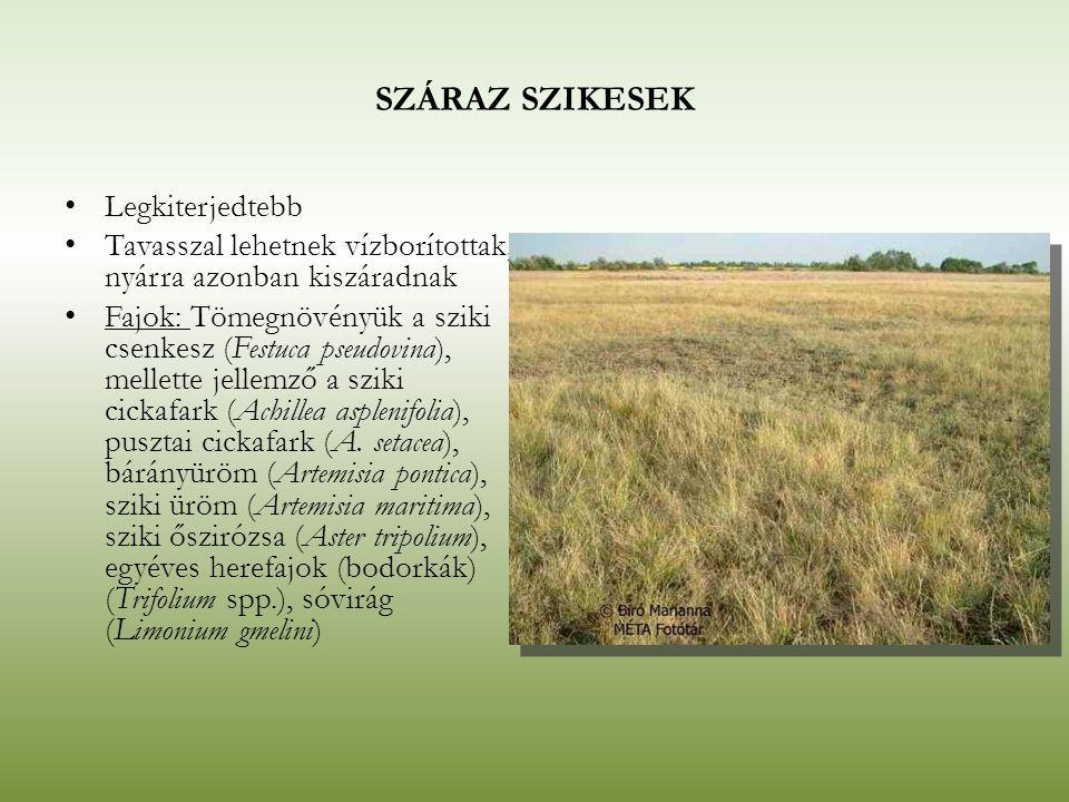 SZÁRAZ SZIKESEK Legkiterjedtebb Tavasszal lehetnek vízborítottak, nyárra azonban kiszáradnak Fajok: Tömegnövényük a sziki csenkesz (Festuca pseudovina