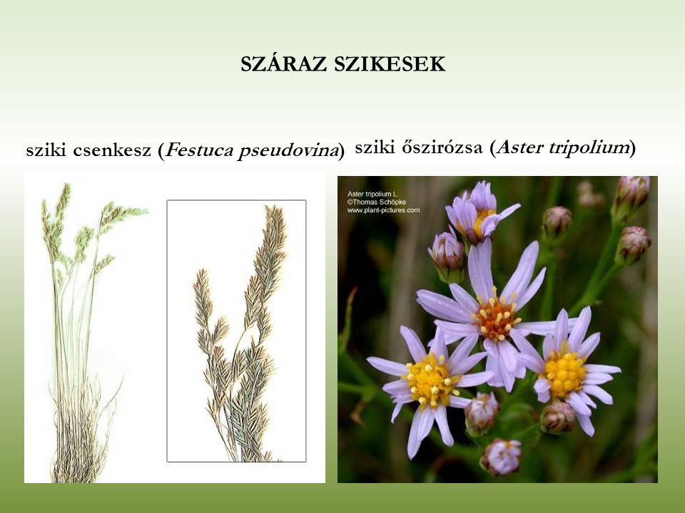 SZÁRAZ SZIKESEK sziki csenkesz (Festuca pseudovina) sziki őszirózsa (Aster tripolium)
