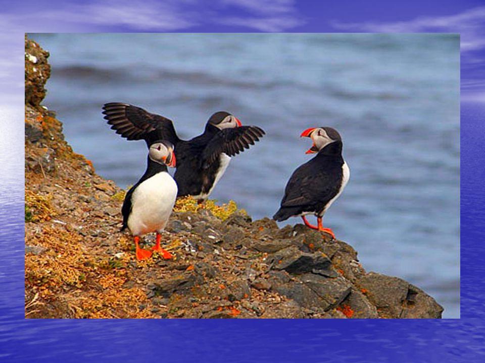 Delfinek a nyílt tengeren A lunda, Izland nemzeti jelképe, galamb nagyságú, mulatságos kinézetű madár, úgy néz ki, mint a papagáj és a pingvin kereszt