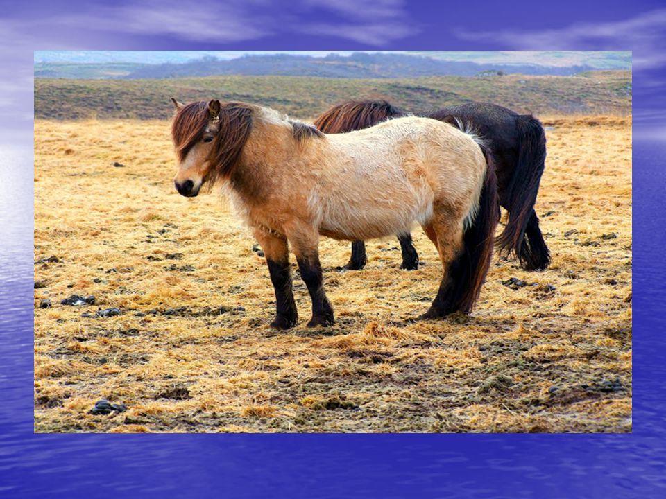 Sirályok elbújnak az eső elöl Sirályok elbújnak az eső elöl Az izlandi lovak biztosan nem az örökké ficánkoló telivérek leszármazottai. Az izlandi lov