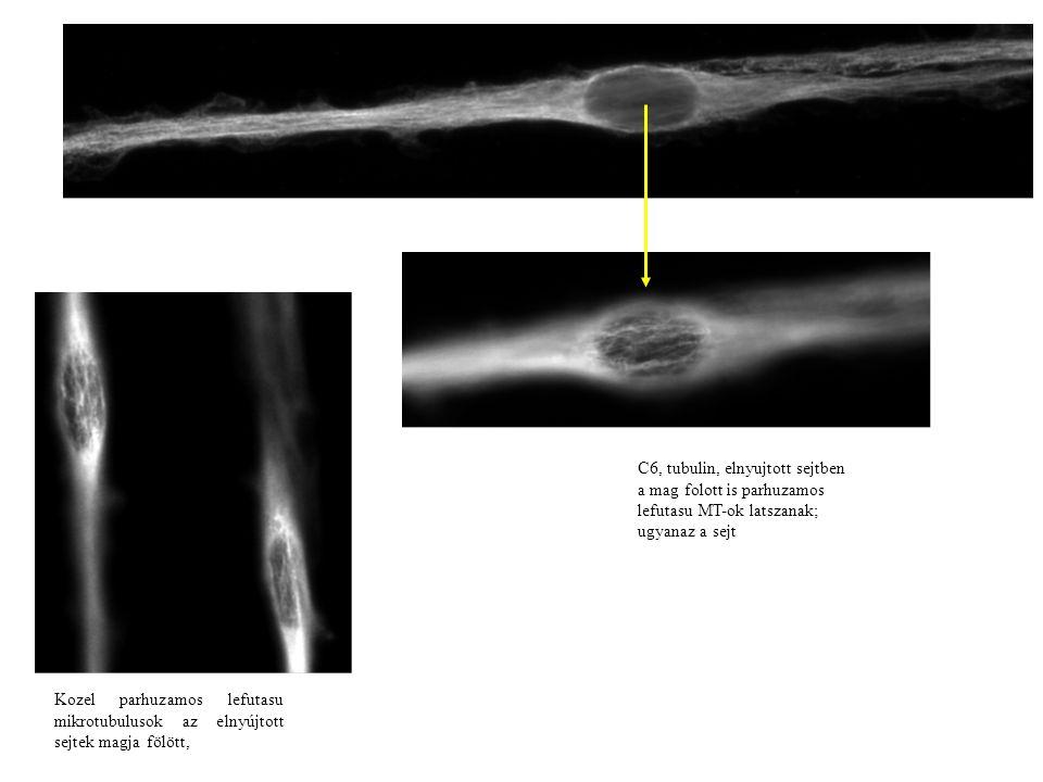C6, tubulin, elnyujtott sejtben a mag folott is parhuzamos lefutasu MT-ok latszanak; ugyanaz a sejt Kozel parhuzamos lefutasu mikrotubulusok az elnyújtott sejtek magja fölött,
