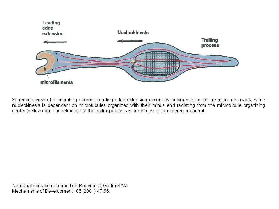 Ket csikon levo C6 sejt, tubulin festes Parhuzamos lefutasu mikrotubulusok az elnyujtott sejtben
