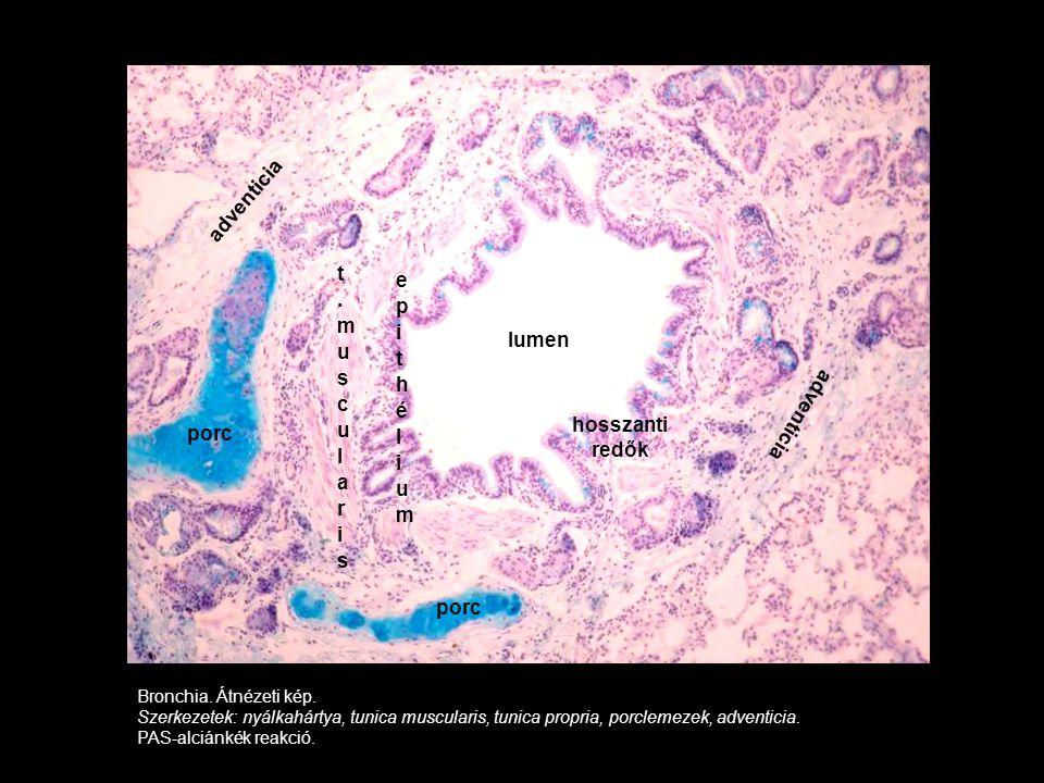 Bronchia. Átnézeti kép. Szerkezetek: nyálkahártya, tunica muscularis, tunica propria, porclemezek, adventicia. PAS-alciánkék reakció. porc lumen hossz