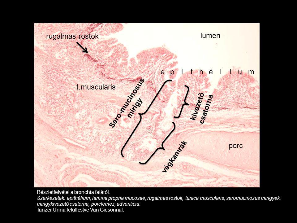 Részletfelvétel a bronchia faláról. Szerkezetek: epithélium, lamina propria mucosae, rugalmas rostok, tunica muscularis, seromucinozus mirigyek, mirig